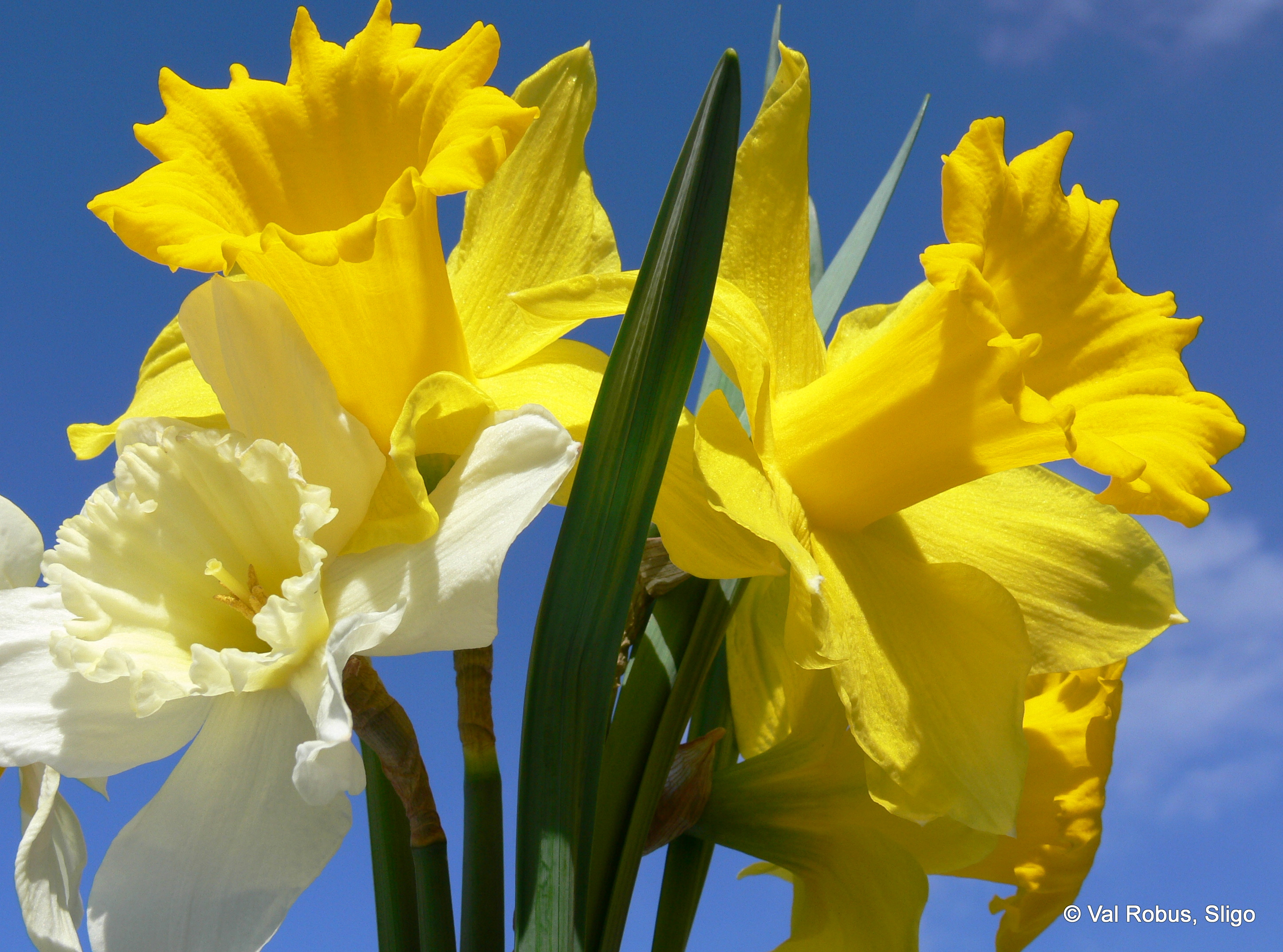 the daffodils Daffodil definition, a bulbous plant, narcissus pseudonarcissus, of the amaryllis family, having solitary, yellow, nodding flowers that bloom in the spring see more.