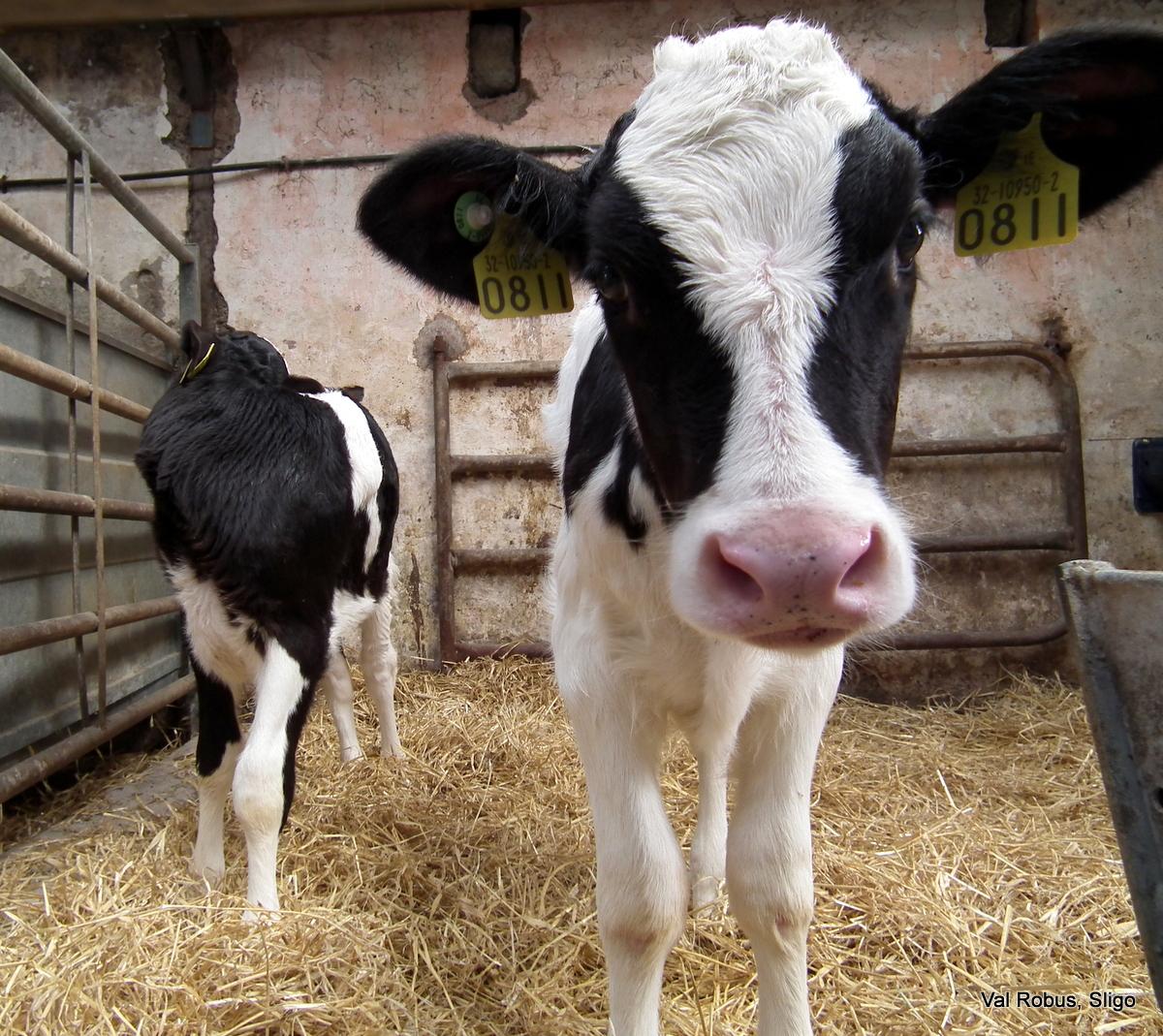 Cute Holstein Calf Cal...
