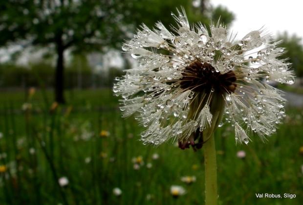Rainy dandelion