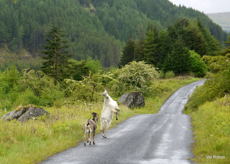Wild goats in the Ladies Brae, Sligo