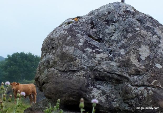 Cows rock