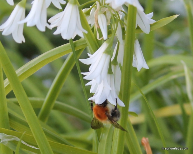 Bee in wild garlic