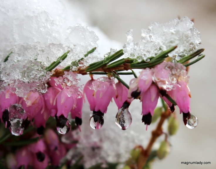 Icy heather