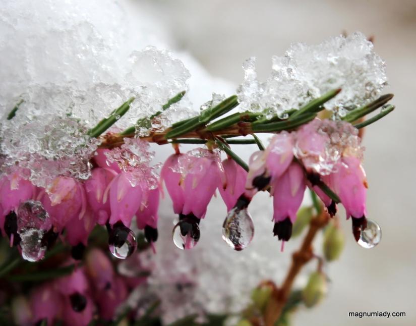 Icy heather
