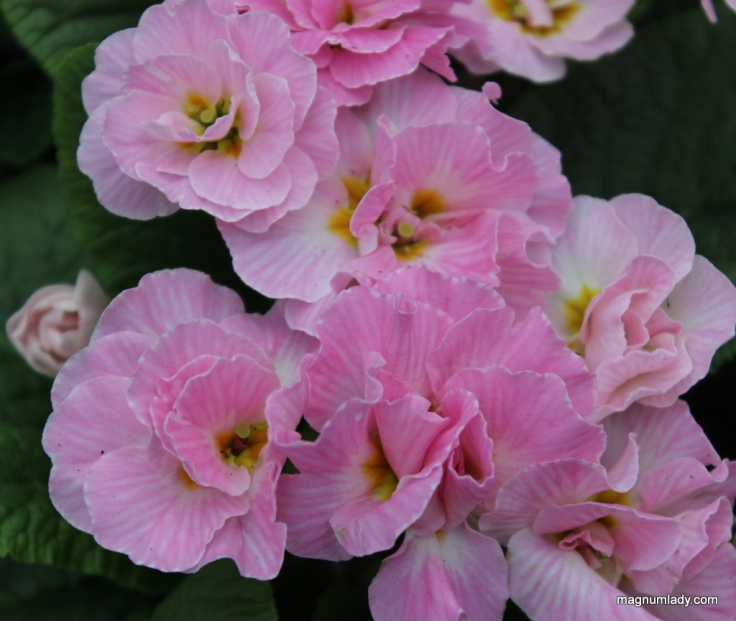 Double primroses