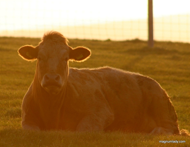 Cow in the sunrise
