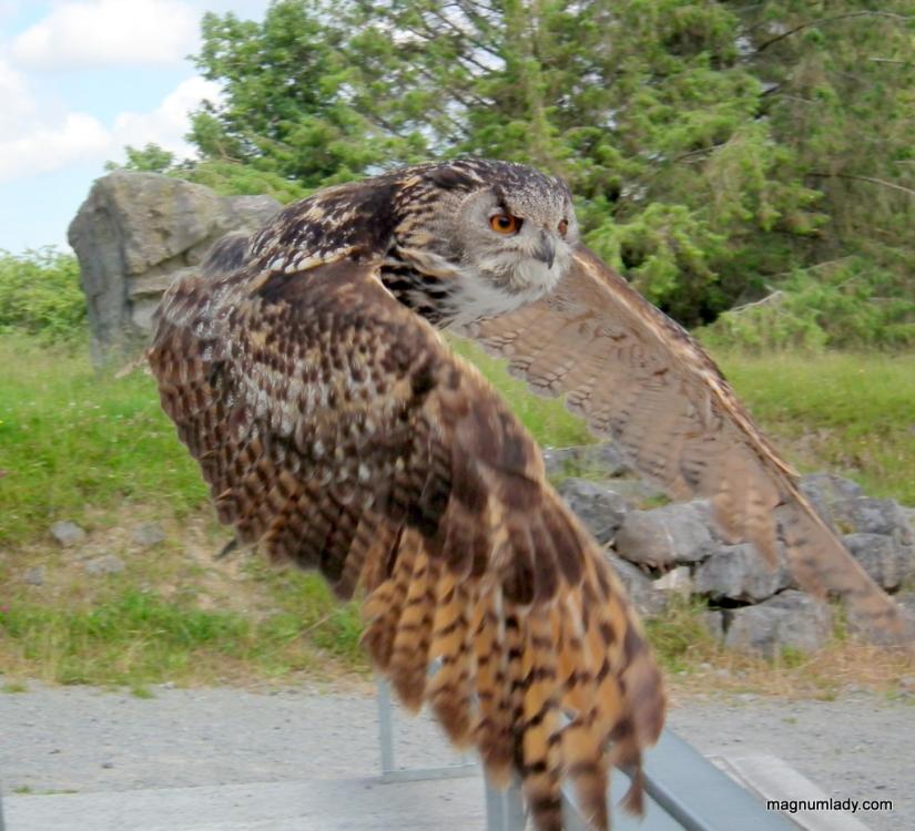 Owl at Eagles Flying