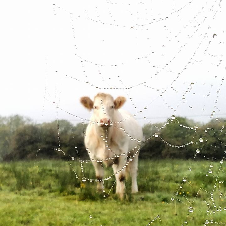 The cow and the cobweb