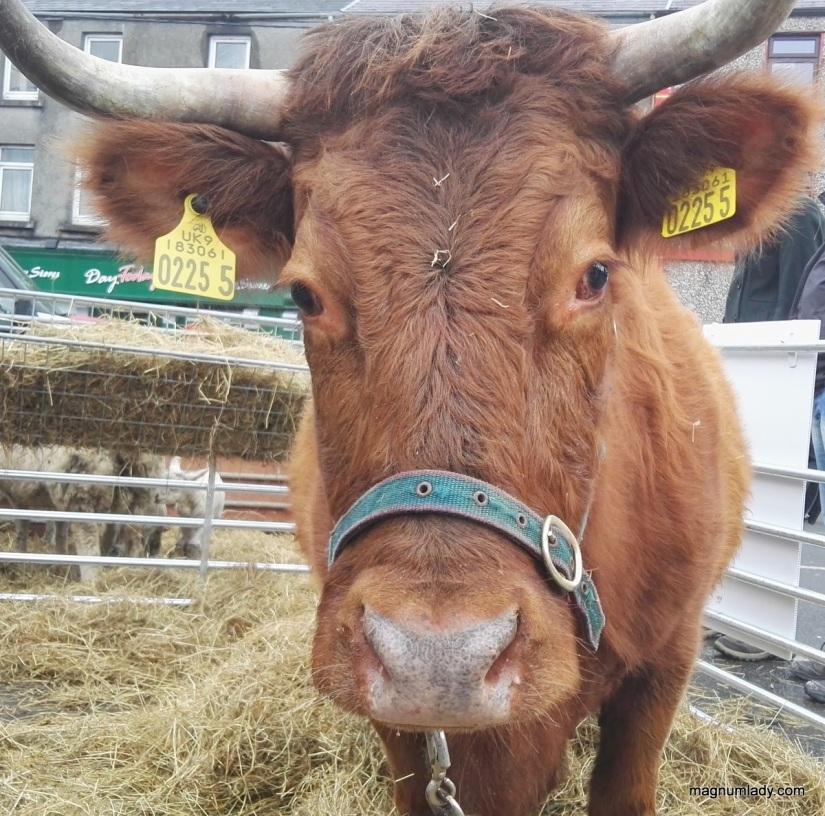 Sunshine the Dexter Cow