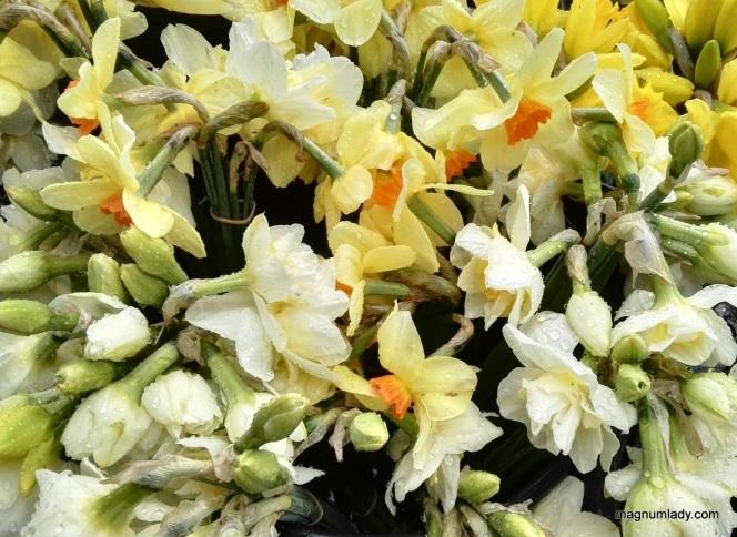 Daffodils in the rain