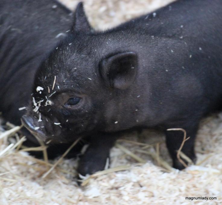 Baby pig