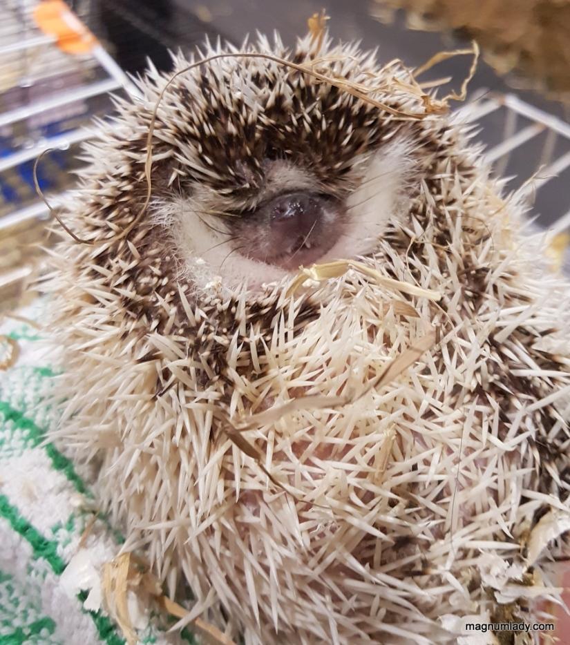 Vivien the hedgehog