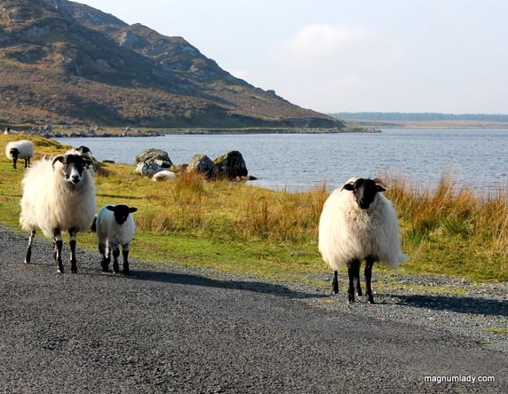 Lough Easkey sheep