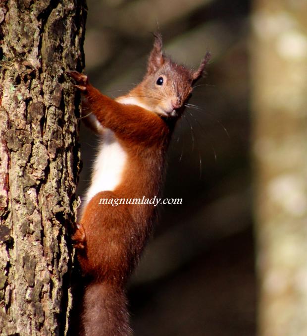 Red Squirrel - Dooney Rock