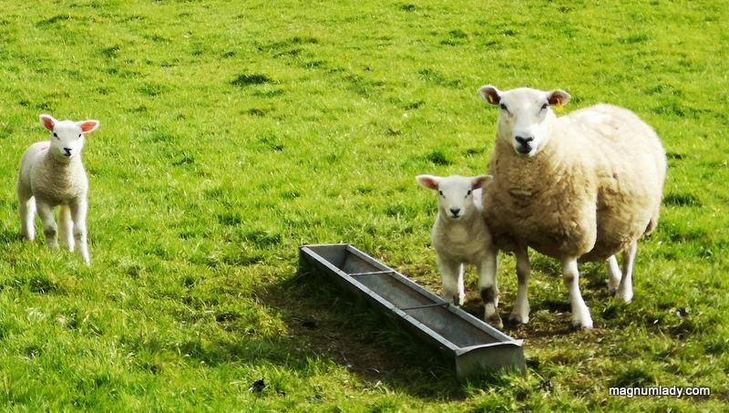 Sligo sheep