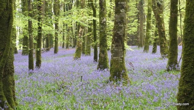 Bluebells Forest