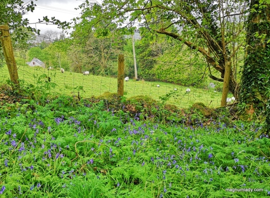bluebells and sheep