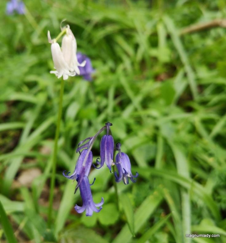 white bluebells