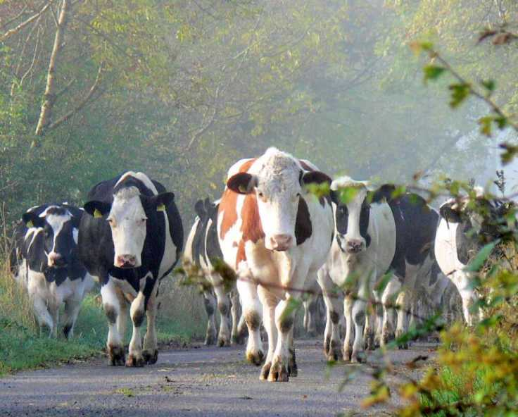Cows in a road Ireland